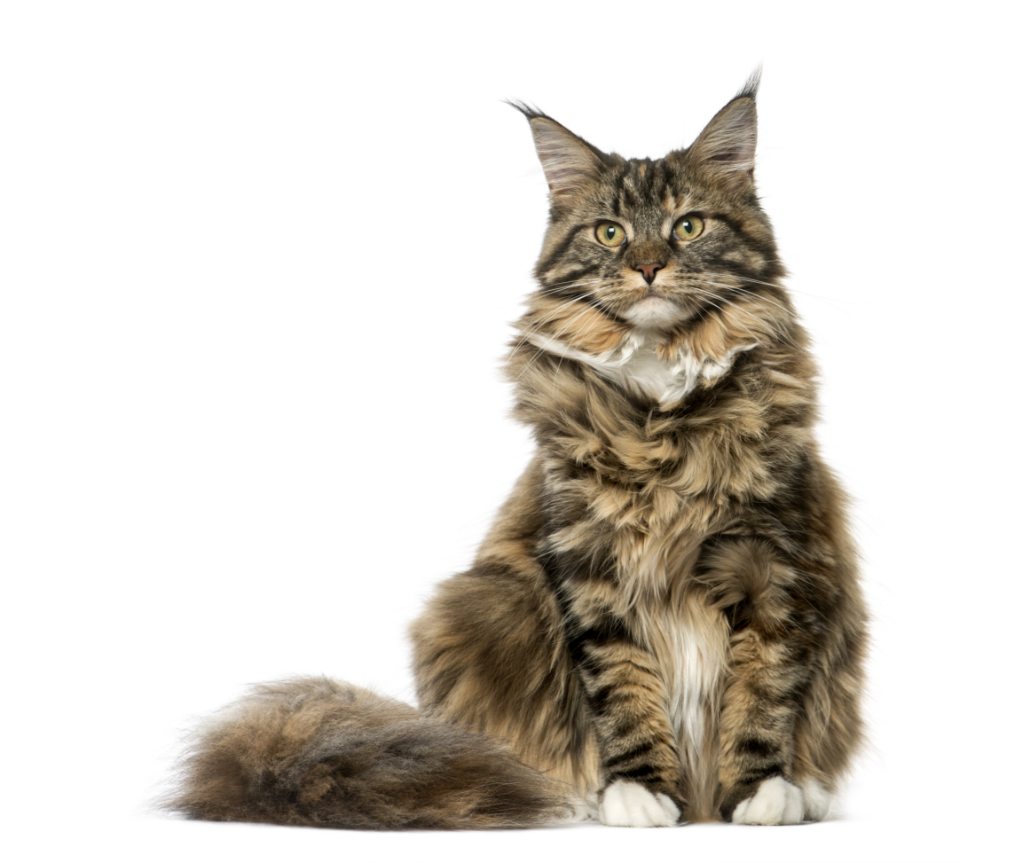 A brown long-haired cat with a bushy tail and white paws sits calmy looking into the distance