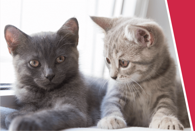 A dark grey cat and a light grey and cream cat lay relaxing together