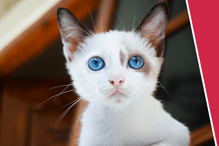 A young white kitten with big blue eyes stares  inquisitively over the camera