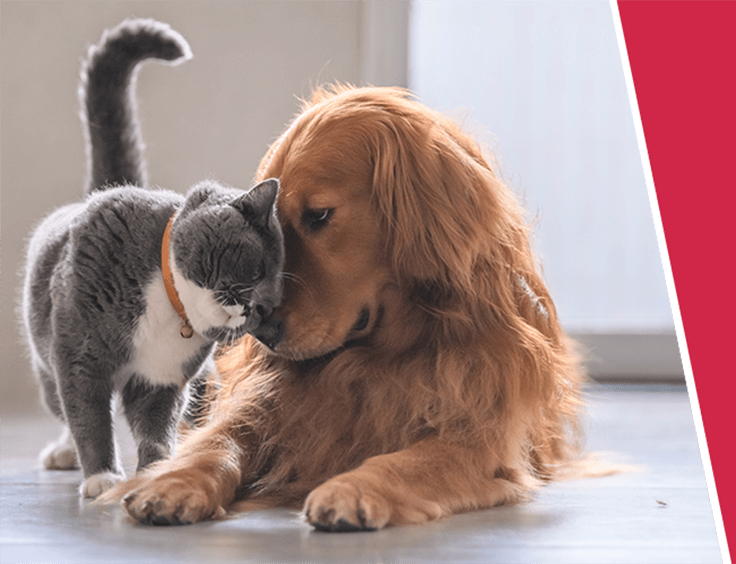 A happy, grey cat rubs their head against a ginger spaniel dog laying on the floor