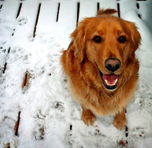 A happy golden dog sits in the snow looking up at their owner