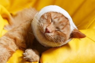 A cat with its head bandaged: Always treat cat wounds as quickly as possible and consult a vet if needed