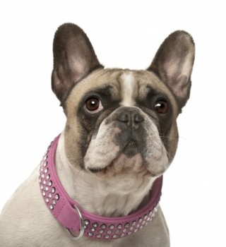 The Legal Requirements of a Dog Collar - A French Bulldog Wearing a Collar