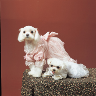 Dressed up Pets - Is It Wrong? Two white dressed up dog in pretty dresses pose for the camera