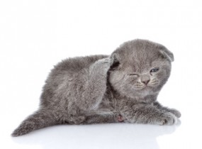 Breed Review: British Shorthair Cats - Argos Pet Insurance