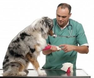 A Dog with cut paws at the Vets