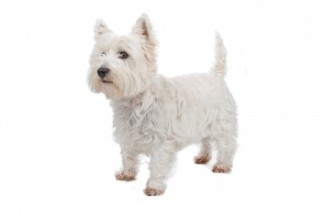 Grooming your dog - West Highland Terrier