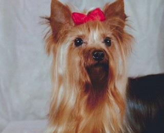 Yorkshire Terrier Breed Review