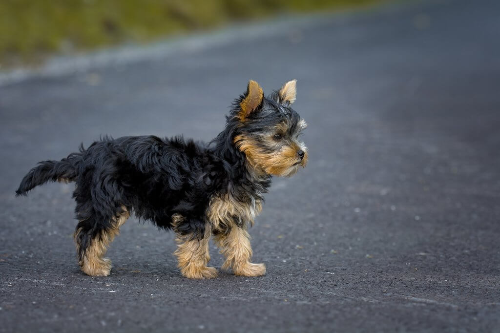Yorkshire Terrier Breed Review - Cute Black and Tan Puppy
