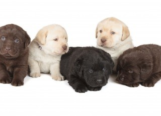 Why Puppies Need Their Vaccinations - Labrador Puppies