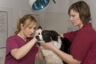 Vets checking dog for external parasites