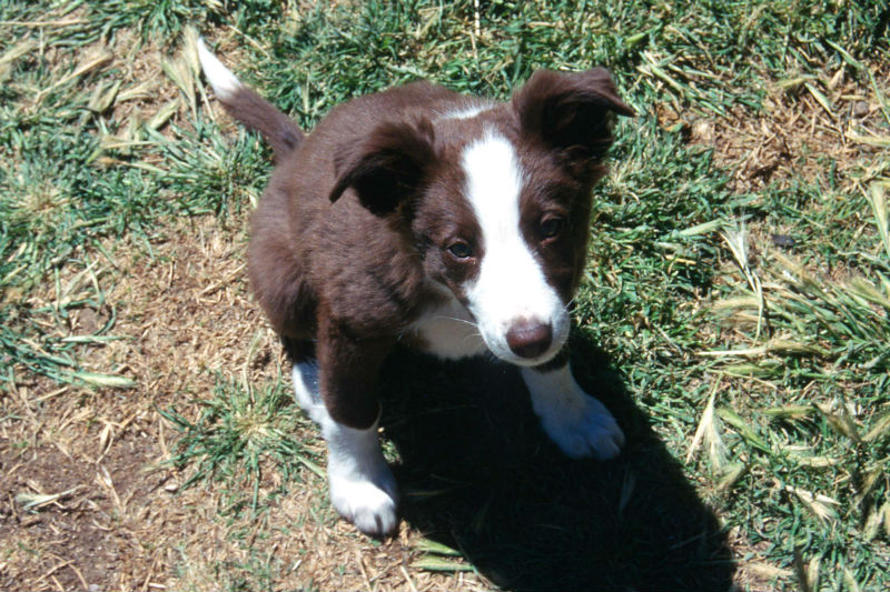 Breed Review Border Collie Dogs Argos Pet Insurance