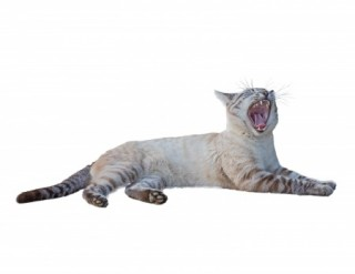 pet related topics - Cat with open mouth