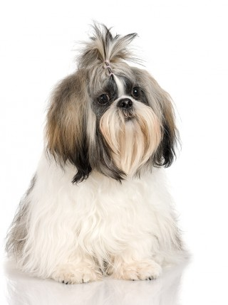 An Introduction to Rehoming a Dog - A Shih Tzu