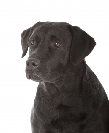 An older black Labrador dog