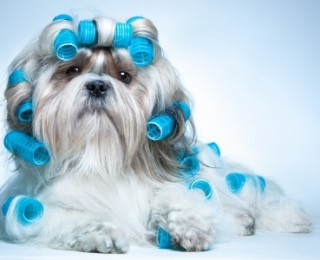Weekly round up dog articles - pampered Shih Tzu pooch wears hair rollers