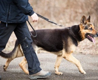 Larn about new mystery disease affecting dogs - German shepard on a lead