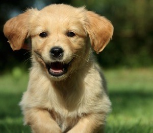 Owning a puppy - Golden Retriever Puppy