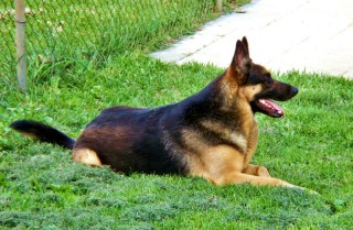 How to train an adult dog - German Shepherd