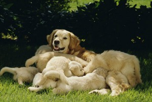 A mother Golden Retriever dog with her puppies