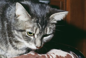 Cat behaviour - Grey Tabby Cat