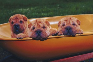 Wrinkly Puppies