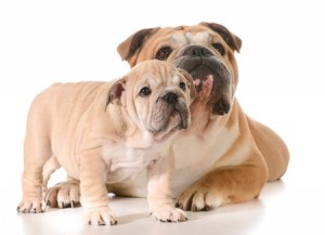 An Introduction to Buying a Dog- An adult and puppy Bulldogs
