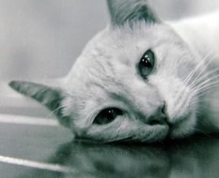A Siamese Cat