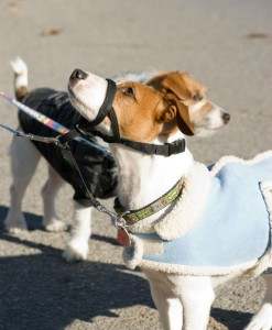Two Jack Russels on a lead