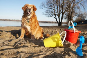 Golden retriever on the beach - Bank Holiday With Your Dog