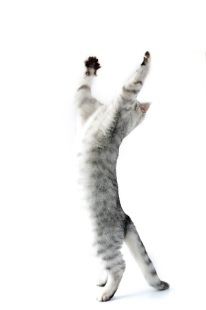 A cat jumping