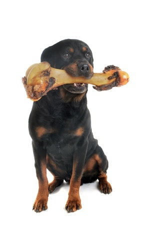 Rotweiler chewing on a large bone