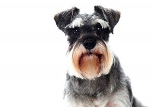 Schnauzer puppies are miniature in size