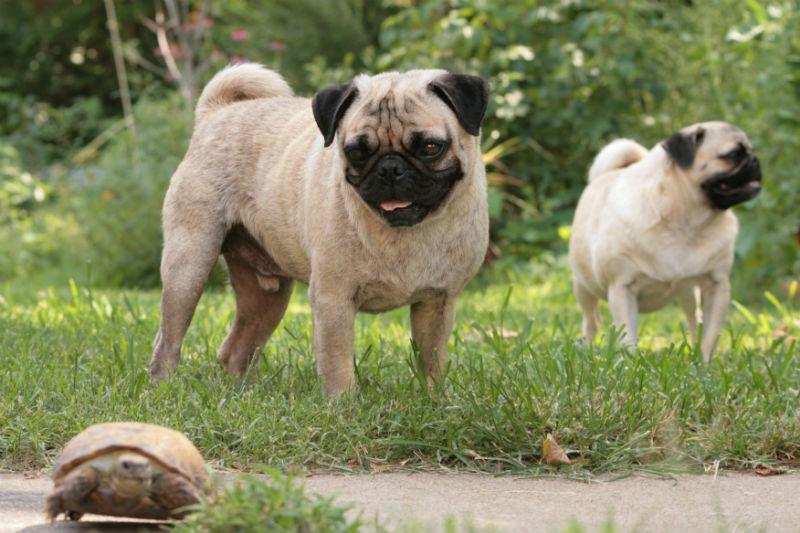 Best Dog Treats Pugs