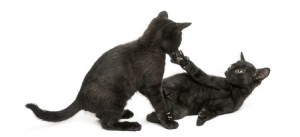 Two black cats playing