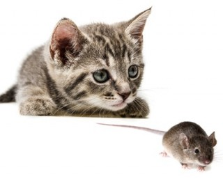 Is your cat giving you a gift - A cat eyes up a mouse