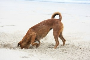 A dog digging at the beach