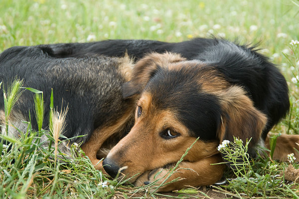 Can dogs be allergic to grass?