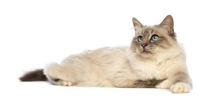 A Birman cat