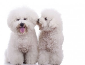 A pair of Bichon Frise puppies