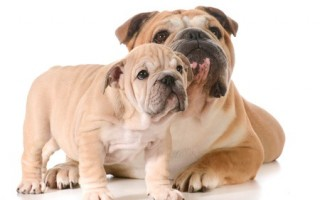 Bulldogs suffer from purebred health issues