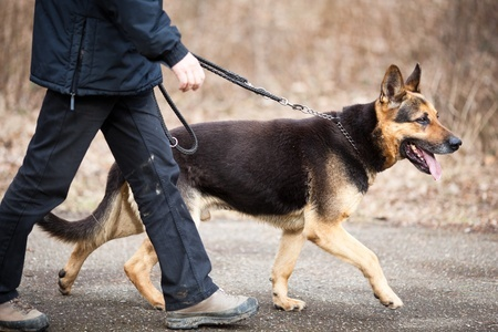 A German Shepherd dog being taken for a walk