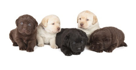 A collection of Labrador Retriever puppies