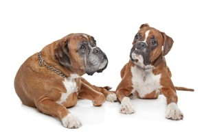 Two older boxer dogs