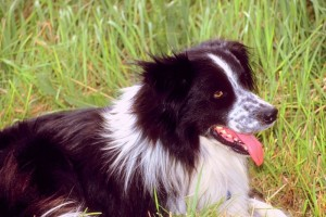 A Border Collie dog