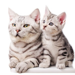 A pair of American Shorthair cats