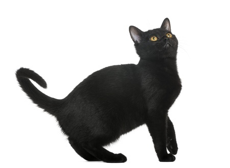 Bombay Cat 2