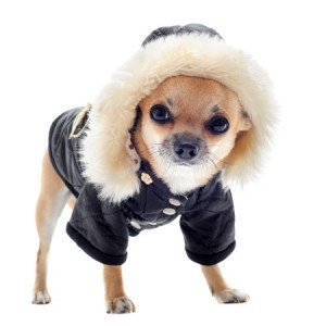 A small Chihuahu dog in a coat
