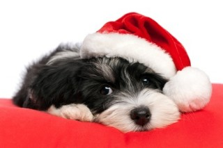 Possible poisons to pets - Christmas Dog