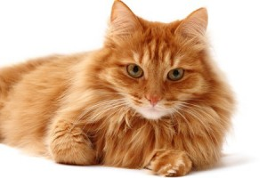 Cat health - Fluffy ginger cat